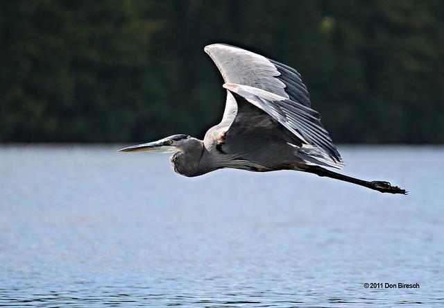 Post - DB - Blue Heron