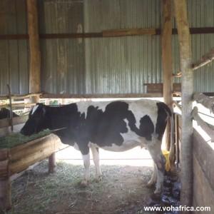 Voh mwanza new cow